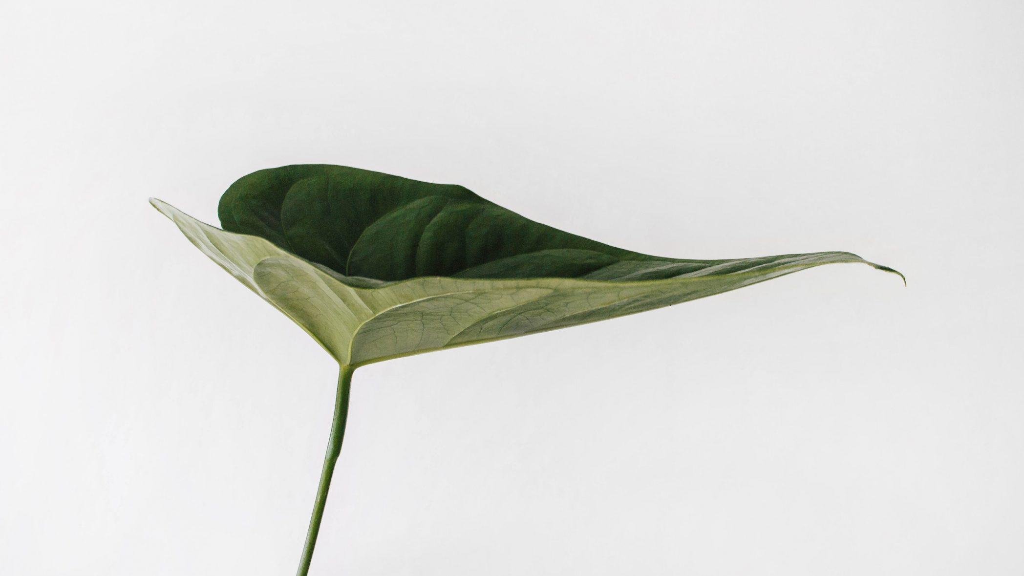 Ein grünes Blatt, das eine Mulde bildet
